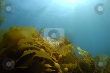 Kelp Background stock photo, Giant Kelp (Macrocystis pyrifera) underwater with the sun on the surface casting light rays down. by A Cotton Photo
