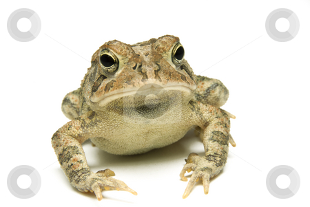 Southern Toad Close stock photo, Southern Toad (Bufo terrestris) Isolated on a white background by A Cotton Photo