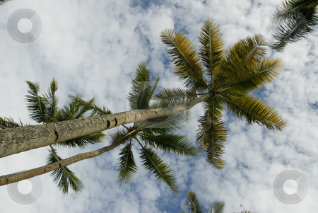 Multiple Palm Trees stock photo, Upward view of multiple tropical palm trees by A Cotton Photo