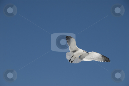 Flying Gull on Sky stock photo, A seagull soars overhead at the beach, against a bright solid blue sky. by A Cotton Photo