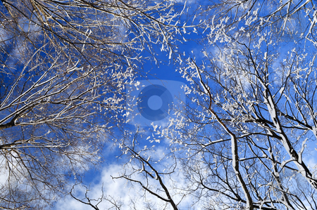 Winter trees and blue sky stock photo, Winter tree tops covered with fresh snow on blue sky background by Elena Elisseeva