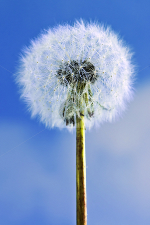 Dandelion stock photo, Dandelion close up on blue sky background by Elena Elisseeva