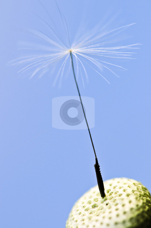 Dandelion stock photo, Macro of one dandelion seed on blue  background by Elena Elisseeva