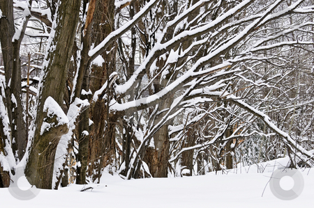 Winter landscape stock photo, Winter landscape with a row of snow covered trees by Elena Elisseeva