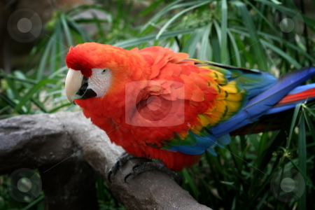 Scarlet Macaw stock photo, The Scarlet Macaw is a large colorful parrot. by Henrik Lehnerer