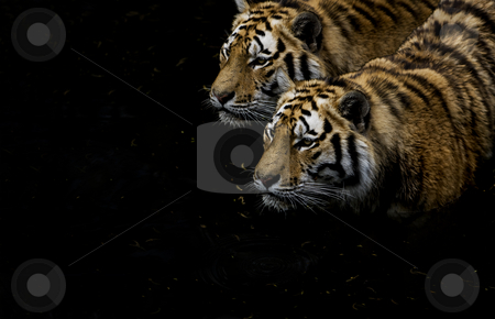 Tigers hunting stock photo, Two tigers hunting beside each other in the low waters by Flemming Jacobsen