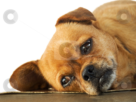 Lethargy of Doggy  stock photo, Sleepy Doggy is lying on the floor, by Sinisa Botas