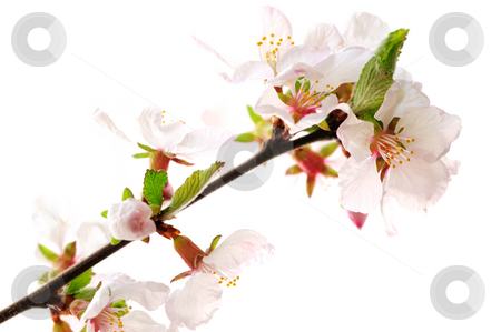 Pink cherry blossom stock photo, Branch with pink cherry blossoms isolated on white background by Elena Elisseeva