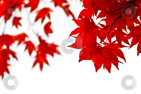 Fall leaves background stock photo, Red fall leaves of japanese maple isolated on white background by Elena Elisseeva