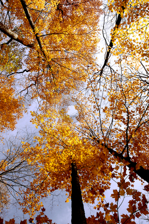 Fall maples stock photo, Colorful maple tree tops in the fall by Elena Elisseeva