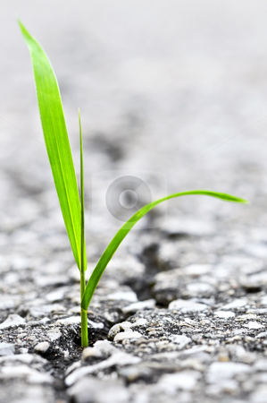 Grass growing from crack in asphalt stock photo, Green grass growing from crack in old asphalt pavement by Elena Elisseeva
