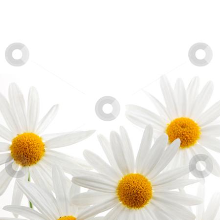 Daisies on white background stock photo, Daisy flowers isolated on white background by Elena Elisseeva