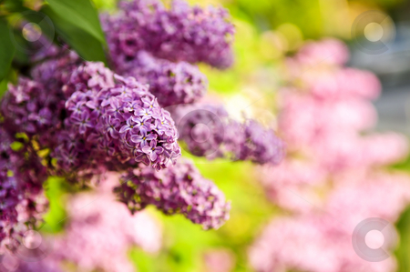 Lilac stock photo, Abundant flowers of purple lilac blooming in late spring by Elena Elisseeva