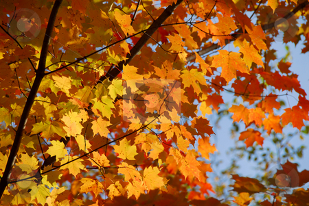 Fall maple stock photo, Colorful leaves of a maple tree in the fall by Elena Elisseeva