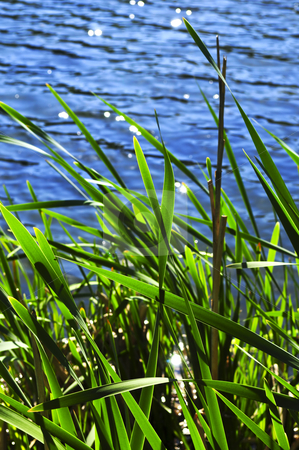 Reeds at water edge stock photo, Natural background of green reeds at water edge by Elena Elisseeva