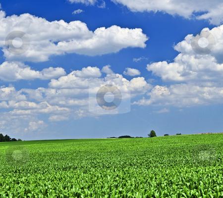 Rural landscape stock photo, Rural summer landscape with green corn field by Elena Elisseeva