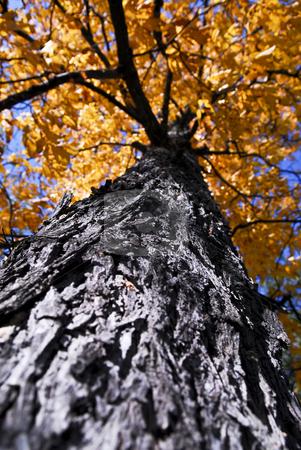 Big autumn tree in fall park stock photo, Big old autumn elm tree in fall park by Elena Elisseeva