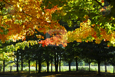 Autumn trees in fall park stock photo, Branches of colorful autumn maple trees in fall park by Elena Elisseeva