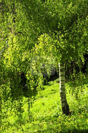 Green birch tree stock photo, Birch tree with young green foliage backlit by spring sun by Elena Elisseeva