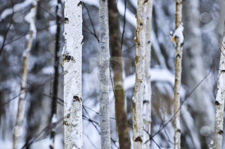 Tree trunks in winter stock photo, Natural background of tree trunks in winter by Elena Elisseeva