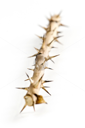 Rose branch with thorns stock photo, Rose branch with thorns isolated on white background by Elena Elisseeva