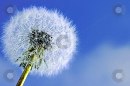 Dandelion stock photo, Dandelion close up on blue sky background by Elena Elisseeva