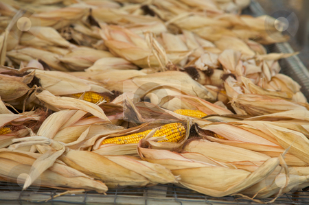 Harvested dried corn for feed stock photo, Dried corn in a factory by Mitch Aunger