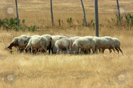 Flock of sheep stock photo, Flock of sheep with heads down seeking for anything edible among torrid grass by Natalia Macheda