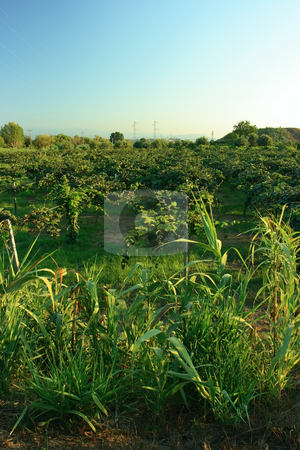 Kiwi garden stock photo, Kiwi garden in the light of sunset in Rosarno, Southern Italy by Natalia Macheda
