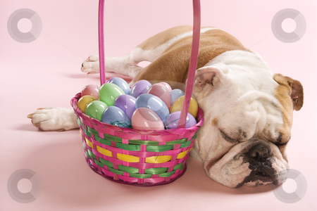 Bulldog with Easter basket. stock photo, Close-up of sleeping English Bulldog next to Easter basket on pink background. by Iofoto Images