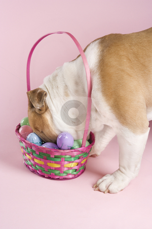 English Bulldog with Easter basket. stock photo, English Bulldog with face buried in Easter basket on pink background. by Iofoto Images