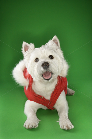 White terrier dog wearing coat. stock photo, White terrier dog dressed in red coat. by Iofoto Images