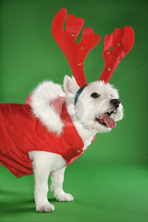 White terrier dog wearing antlers. stock photo, White terrier dog dressed in red coat wearing antlers. by Iofoto Images