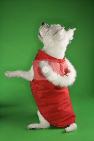 White terrier dog begging. stock photo, White terrier dog dressed in red coat standing on back haunches. by Iofoto Images