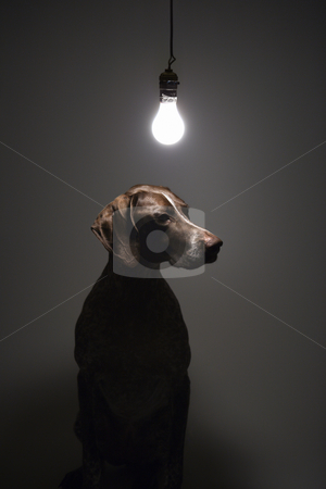 Dog under light bulb. stock photo, German Shorthaired Pointer with lit lightbulb hanging above. by Iofoto Images