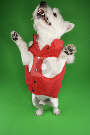 White terrier dog begging. stock photo, White terrier dog dressed in red coat standing on back legs. by Iofoto Images