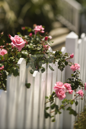 Roses growing over fence. stock photo, Pink roses growing over white picket fence. by Iofoto Images