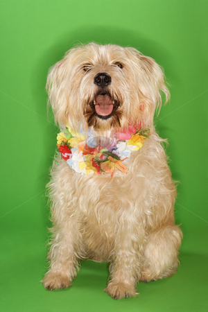 Dog sitting wearing lei. stock photo, Fluffy dog sitting wearing lei. by Iofoto Images