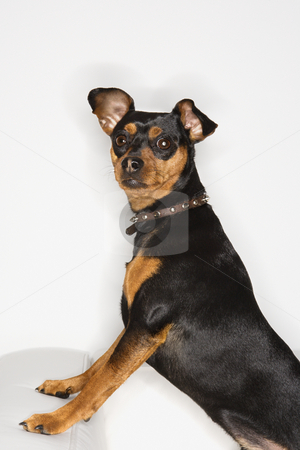 Miniature Pinscher dog. stock photo, Miniature Pinscher dog looking at viewer. by Iofoto Images
