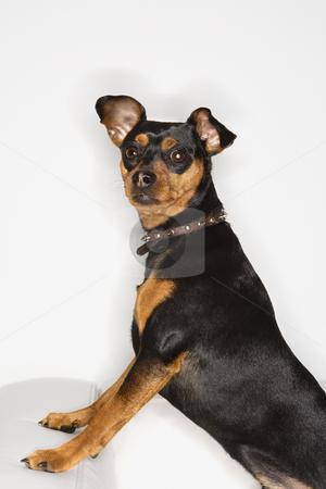 Miniature Pinscher dog. stock photo, Miniature Pinscher dog looking at viewer. by Iofoto Images