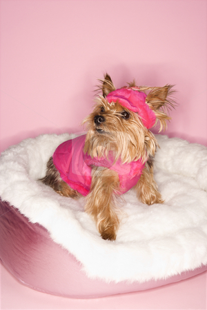 Yorkshire Terrier dog in pink outfit. stock photo, Yorkshire Terrier dog wearing pink outfit on pink dog bed. by Iofoto Images