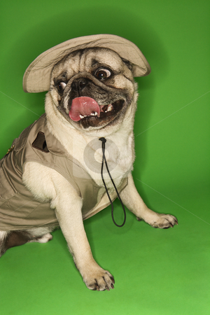 Pug dog wearing safari outfit. stock photo, Pug dog wearing safari outfit. by Iofoto Images
