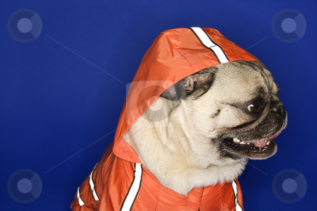 Pug wearing hoodie jacket. stock photo, Pug wearing hoodie jacket. by Iofoto Images