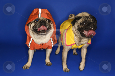 Pugs wearing jackets. stock photo, Pug wearing hoodie jacket. by Iofoto Images