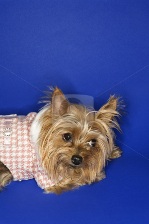 Yorkshire Terrier dog. stock photo, Yorkshire Terrier dog wearing outfit. by Iofoto Images