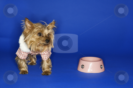 Dog with empty food bowl. stock photo, Yorkshire Terrier dog wearing outfit with empty food bowl. by Iofoto Images