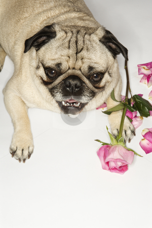 Pug dog with roses. stock photo, Pug dog with roses. by Iofoto Images