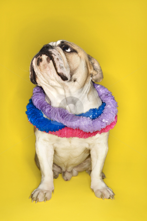 English Bulldog wearing lei. stock photo, English Bulldog wearing lei sitting on yellow background. by Iofoto Images