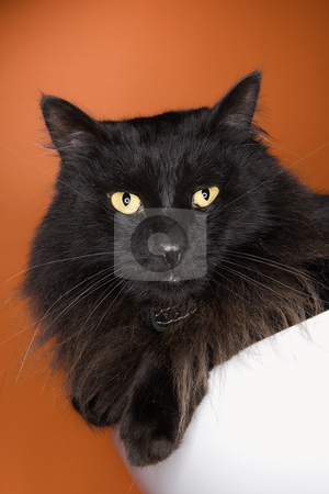 Black fluffy cat. stock photo, Black fluffy cat. by Iofoto Images