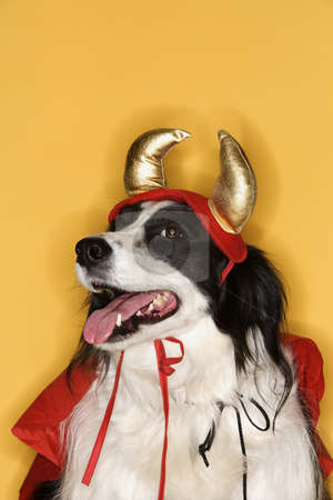 Border Collie in Devil costume. stock photo, Border Collie in Devil costume. by Iofoto Images